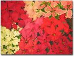 poinsettia_color