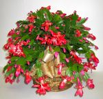 red_christmas_cactus